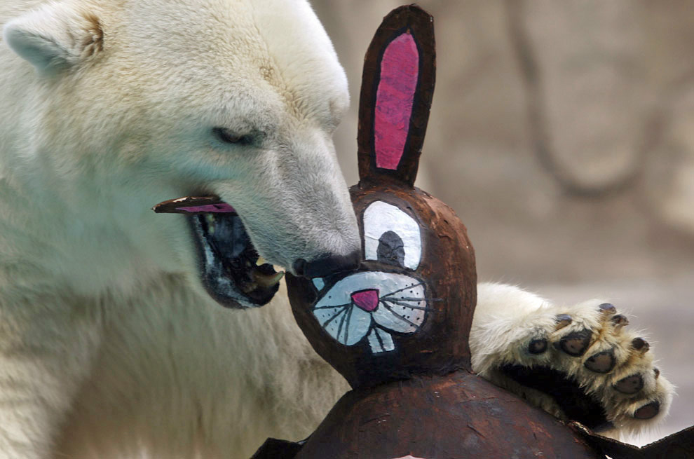 Polar bear eating the Easter Bunny